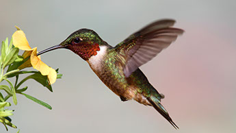Watch A Hummingbird Tongue video clip